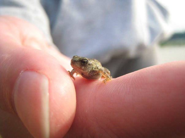Tiny Toad Wisconsin