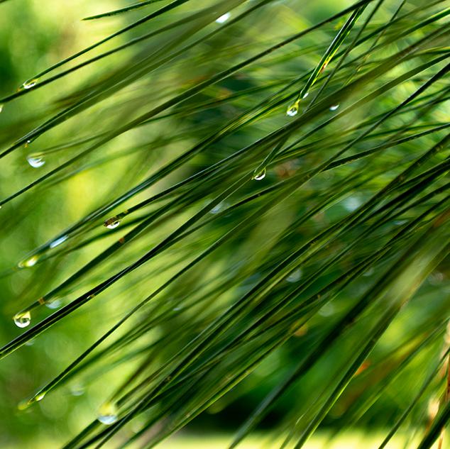 Rain Drops on Pine Tree Macro Photography Reevesville SC