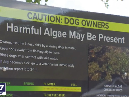 Scientist says toxic blue-green algae likely caused by cold weather
