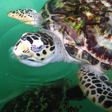 Turtle South Padre Island TX
