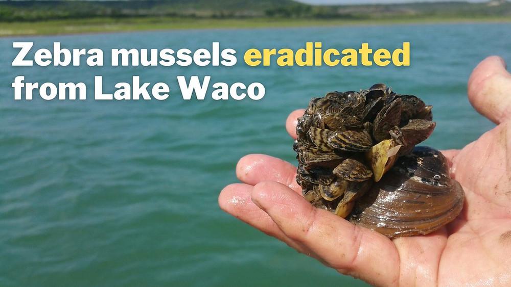 Eradication of zebra mussels from Lake Waco