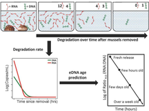 Environmental (e)RNA advances the reliability of eDNA by predicting its age