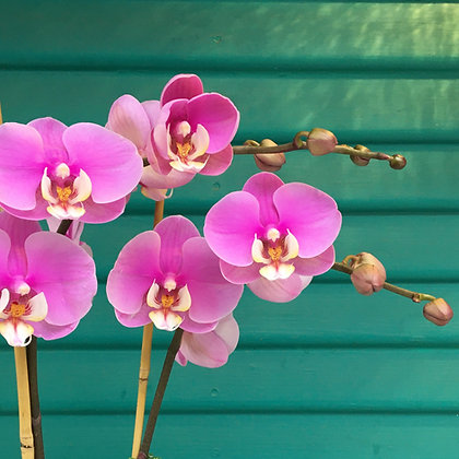 Orchid Plant Including Delivery in CHICO (colors vary)