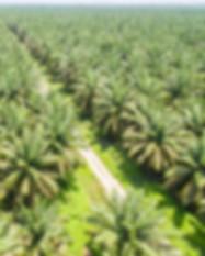 kakaw palm oil plantation