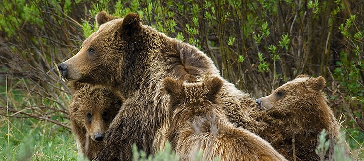 Tom Manglesen Mother Grizzly Bear and Cubs