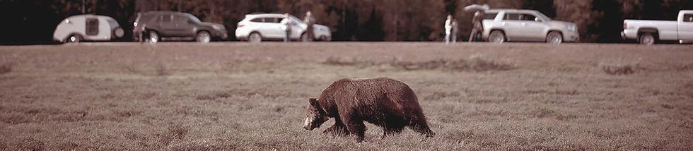 2016_Jackson Hole roadside grizzly_Banner.jpg