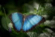 bluemorpha.jpg