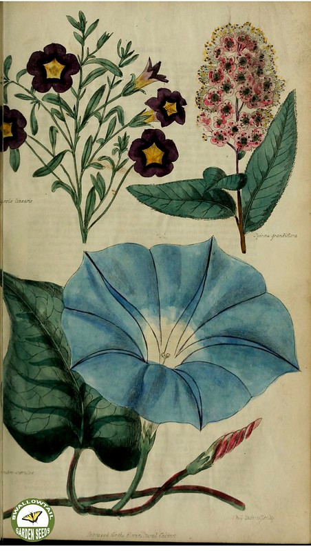 Morning Glory Flower Botanical Illustration