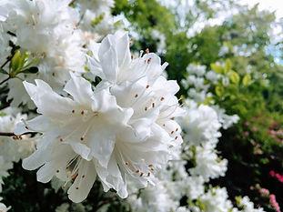 PaleBlossomsDriftAcrossTheGarden