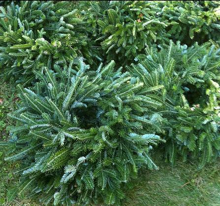 Frasier Fir Wreaths: Choose your size