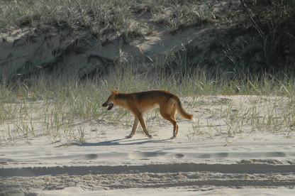 Dingo Fraser Island 2016