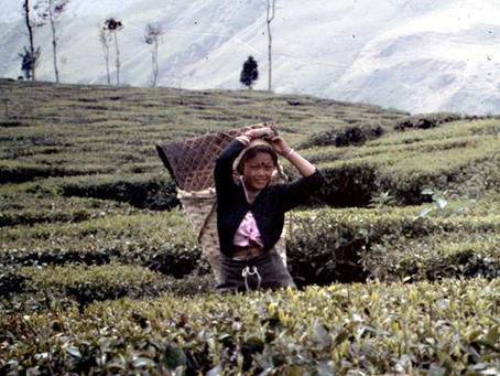 In Darjeeling: Tea and Revolution (1987)