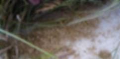Carex seed