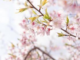 春の代名詞。