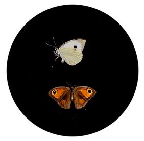 Butterfly powder