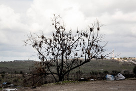 Poplar tree & military base