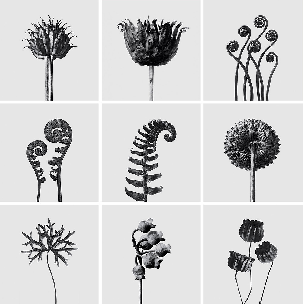 Karl Blossfeltdt botanicals in black and white for Loewe perfume packaging