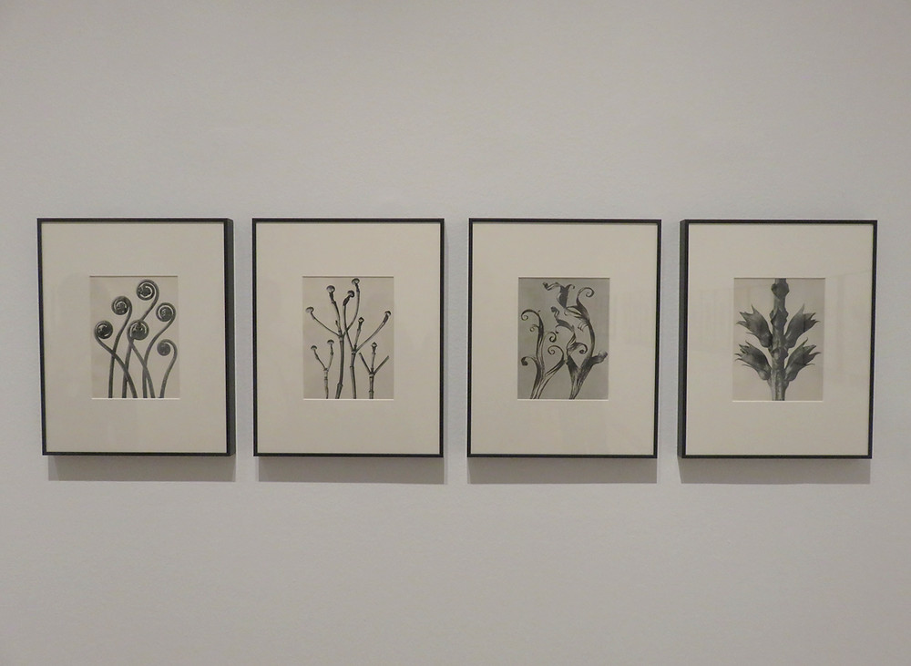 Karl Blossfeltdt plants and flowers at The Thyssen-Bornemisza National Museum
