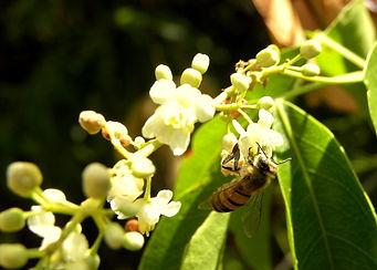 abelha cipo 1.jpg