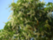 serjana cipo uva fonte chaves-rcpolo-org