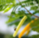 Angico-de-bezerro%20(Pityrocarpa%20monil