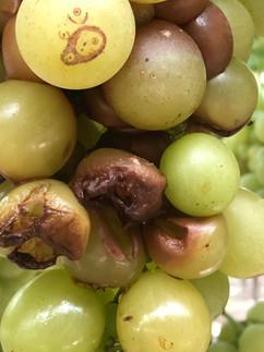 Effetto di Antimyc su uva da tavola (Rutigliano)