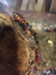 エキゾチックパートナーズアーカイブ|スパイニージャイアントアサシンバグ|幼虫|横