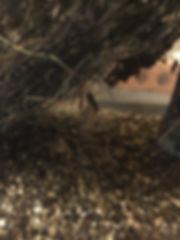 エキゾチックパートナーズアーカイブ|スパイニージャイアントアサシンバグ|幼虫|コオロギ|捕食