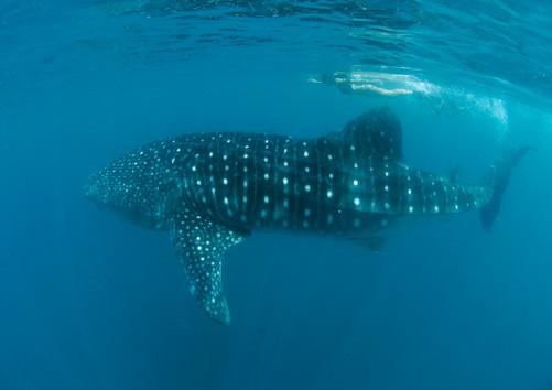 Whaleshark Donsol.jpg