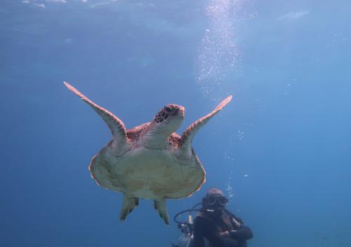Underwater Balicasag Island Turtles 1.JP