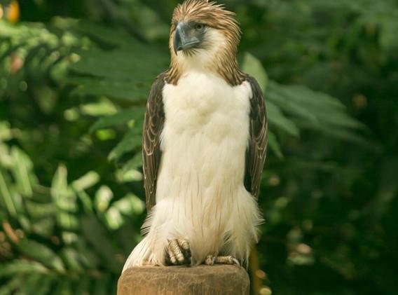 Philippine_Eagle_1.jpg