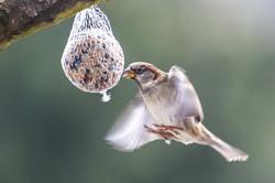 Grauer Kolibri