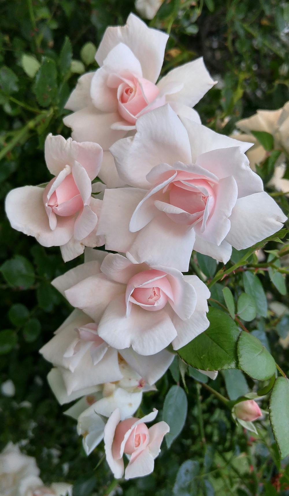 Noisette rose from Carol L.