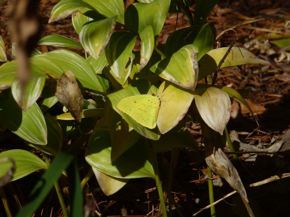 Cloudless sulphur in the Fall