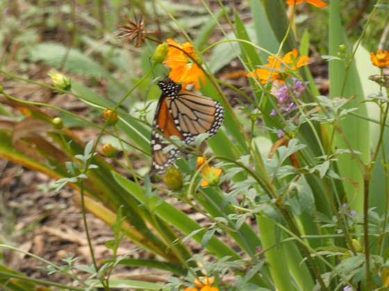Late Generation Monarch
