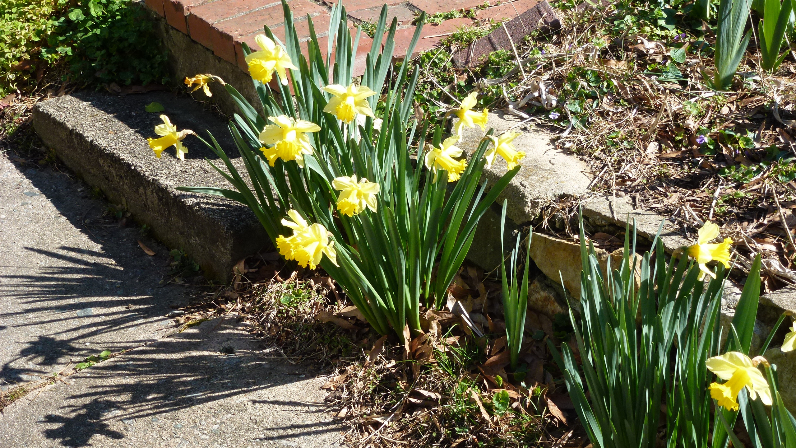 Daffodils unknown-  at least  20 years old