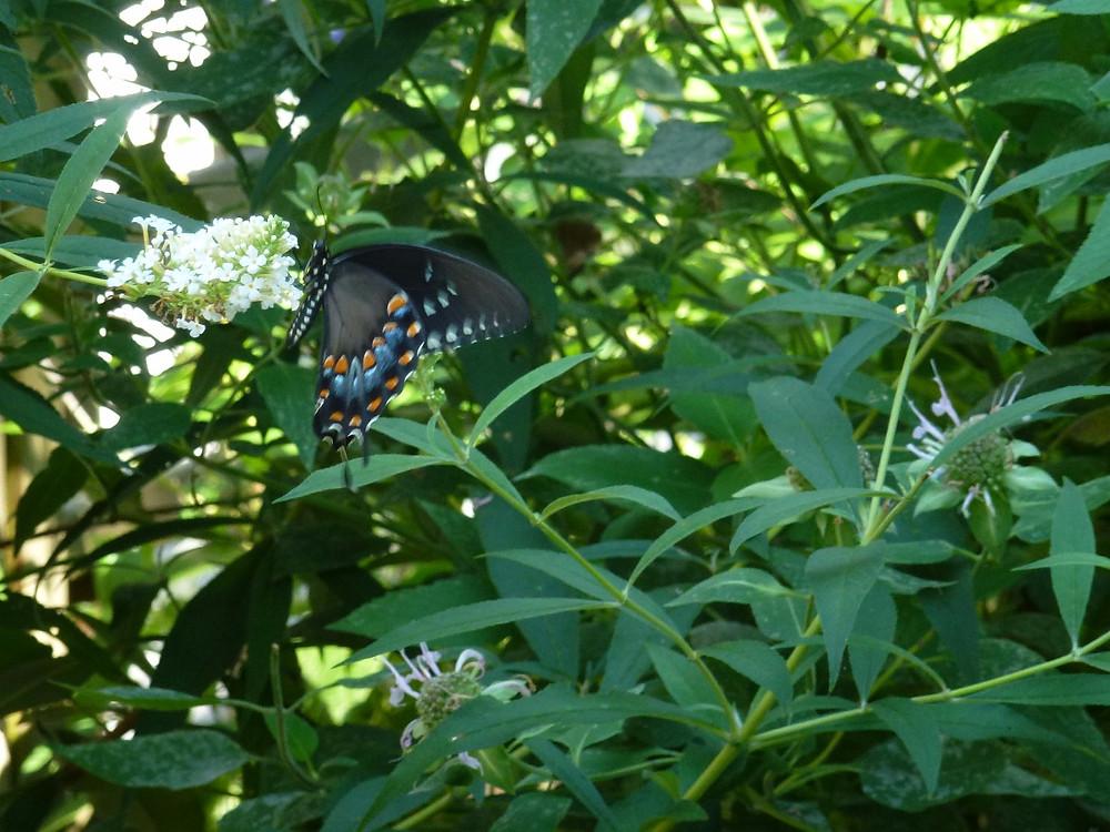 Spicebush swallowtail feeding on butterfly bush