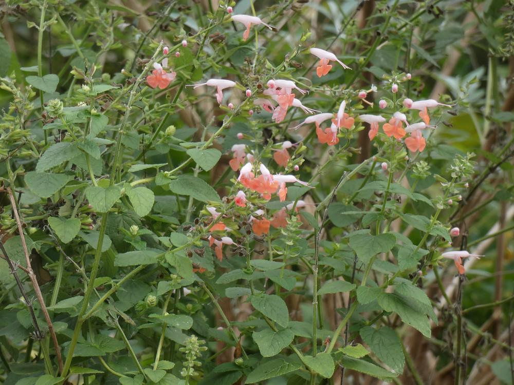 re-seeding pink salvia Nov. 8