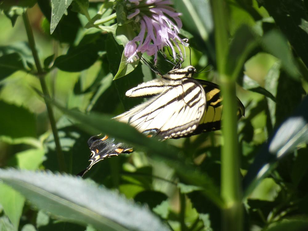 Tiger Swallowtail and wild bergamot