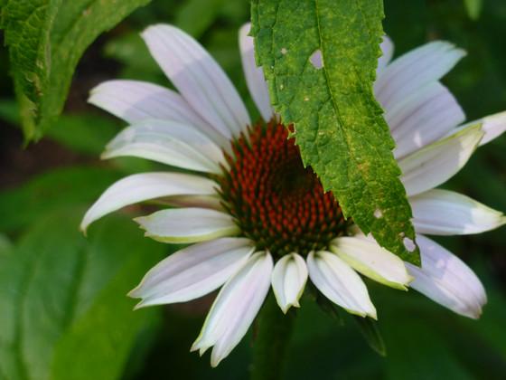 Hybrid Echinacea