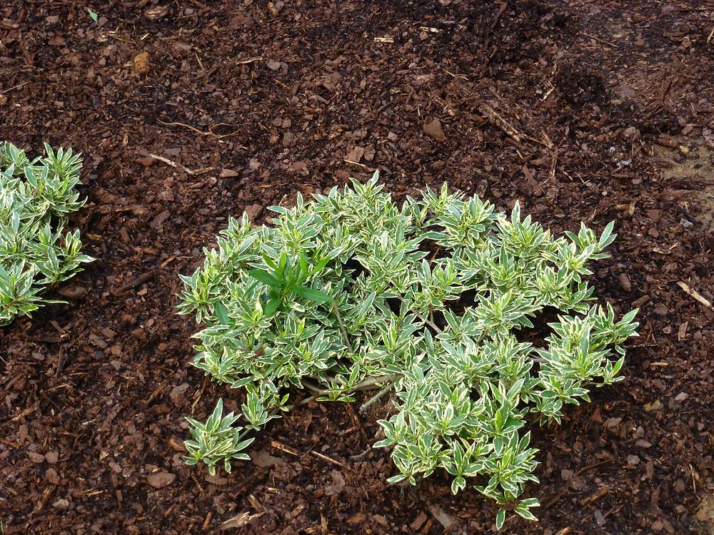 Miniature gardenia