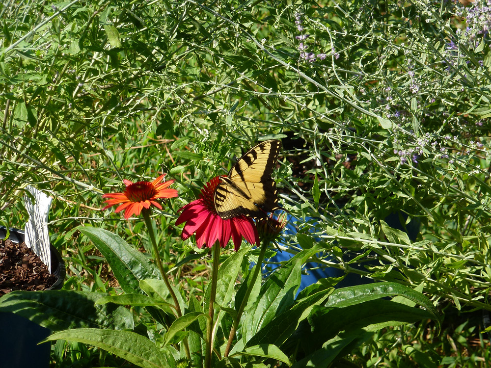 Cheyenne Echinacea with Tiger Swallowtail