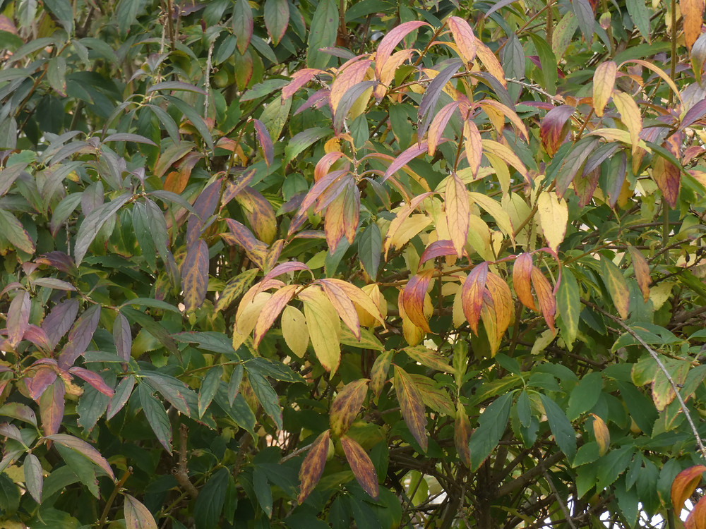 Forsythia is starting it's autumn show Nov. 8