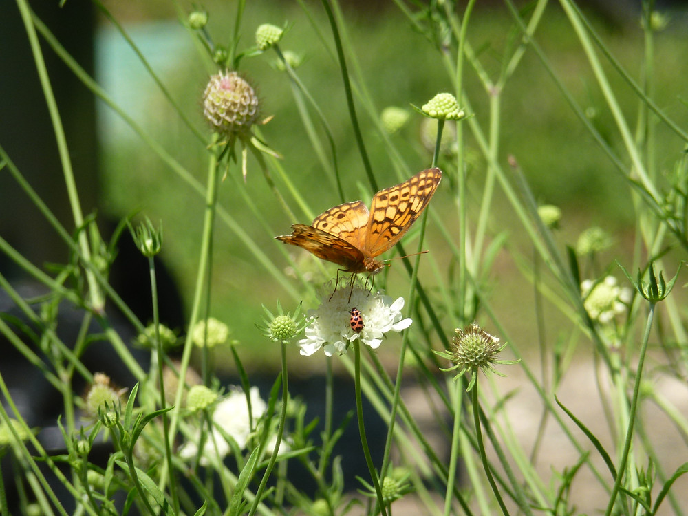 Variegated Fritillary and Butterfly