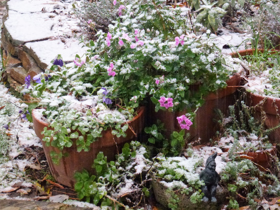 Verbena Canadensis and Snow