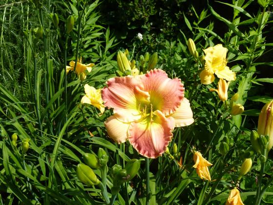 More Daylilies!
