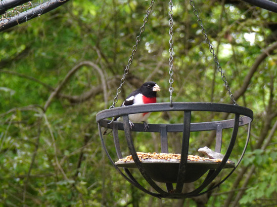 Refuge for the Rose Breasted Grosbeak