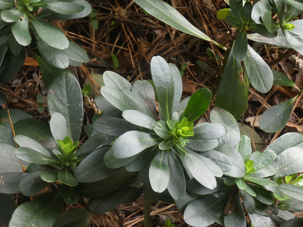 Cushion spurge starting it's chartreuse green in Nov.