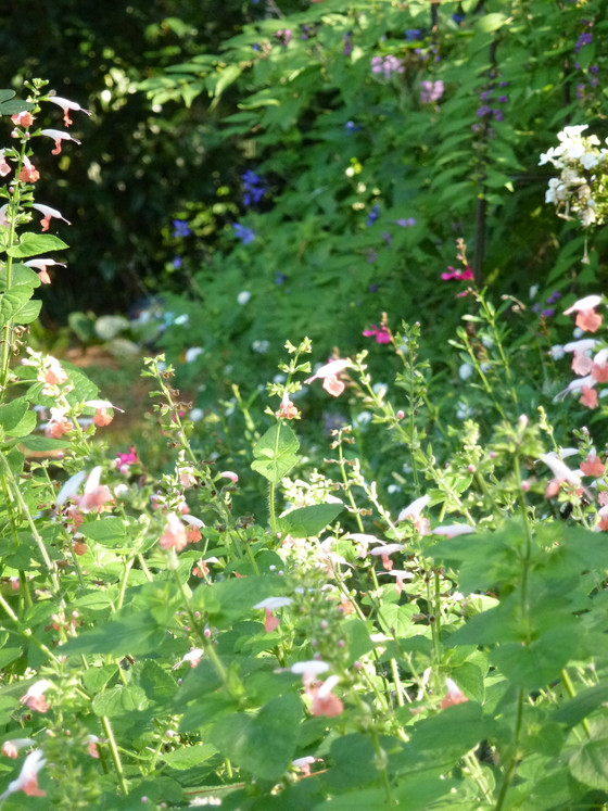 Salvia Late Summer