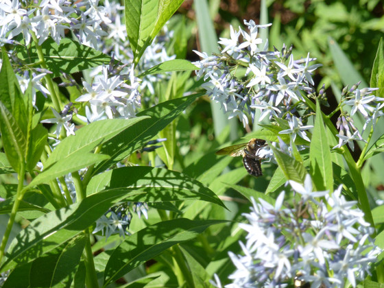 Plants for early pollinators